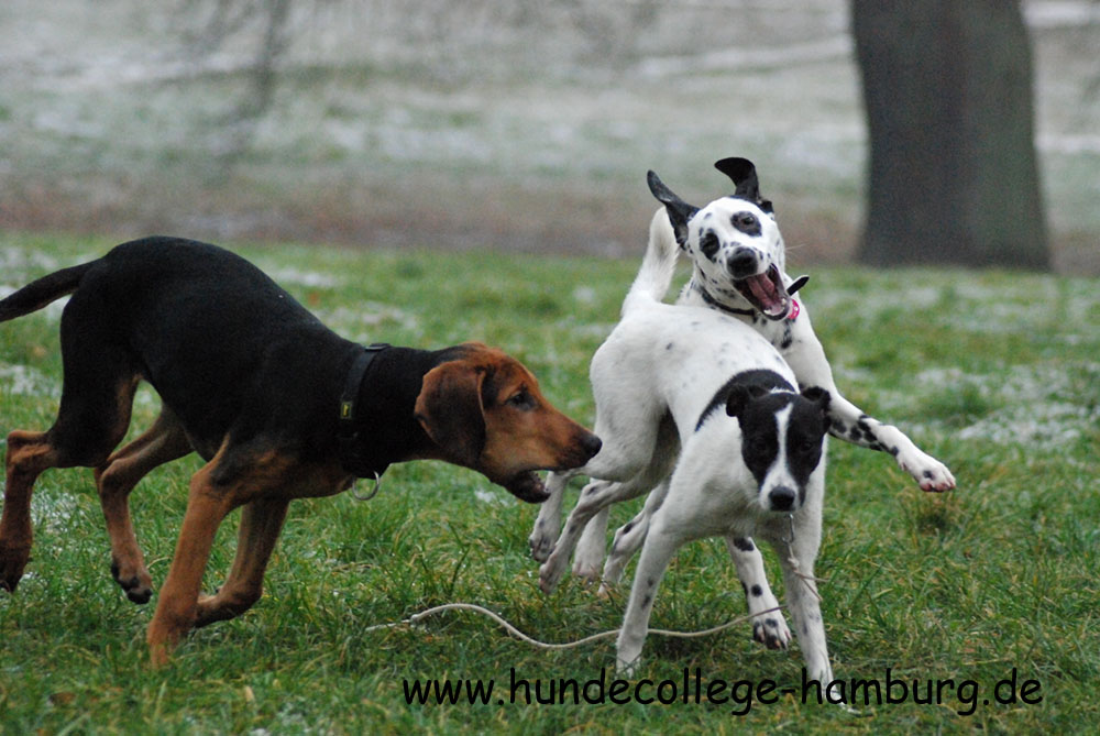 Pointer Mix, Rhodesian Ridgeback - Dobermann Mix und Dalmatiner