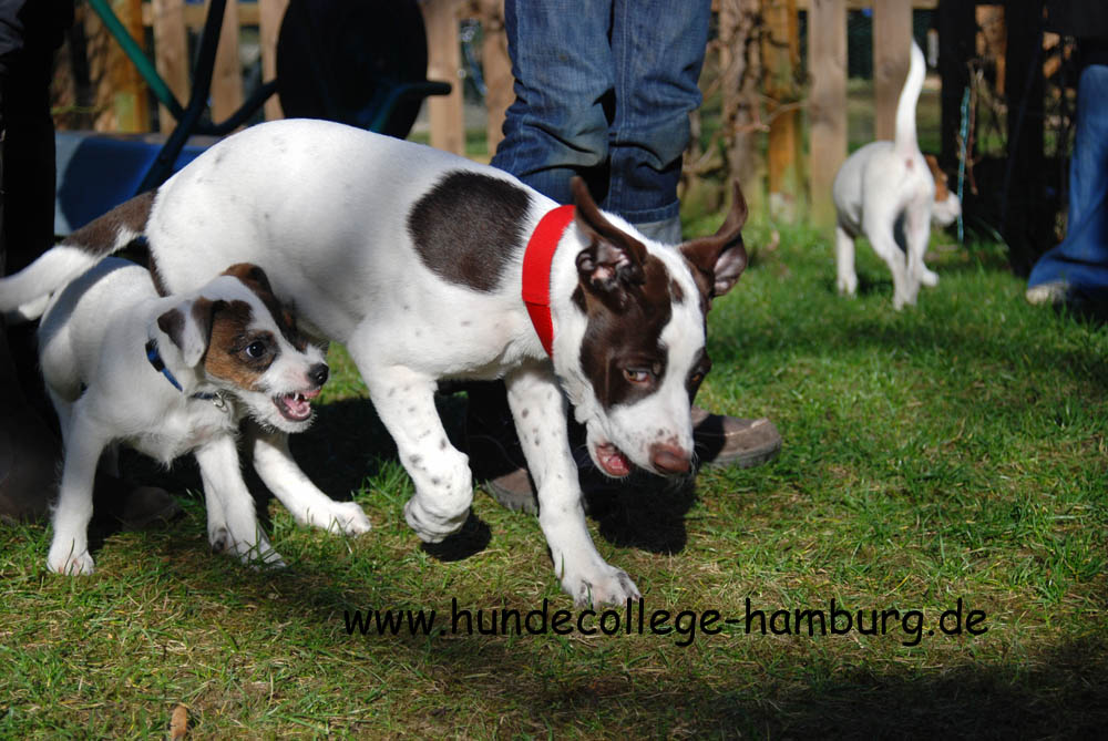 Parson Jack Russell Terrier und Pointer Mix