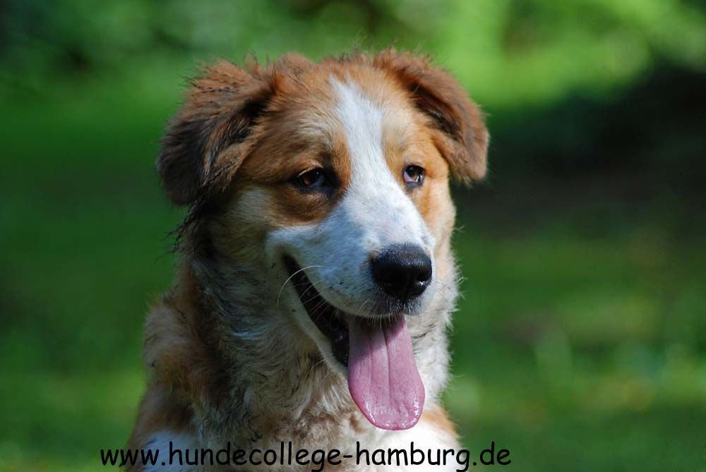 Berner Sennenhund - Golden Retriever Mix